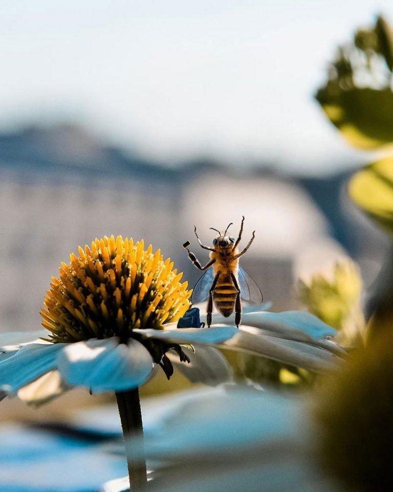 """La primera """"abeja influencer"""" que concientiza sobre el peligro de su especie (4)"""
