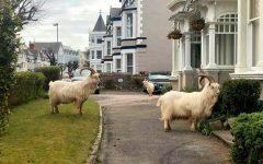 cabras en las calles de gales por cuarentena (1)