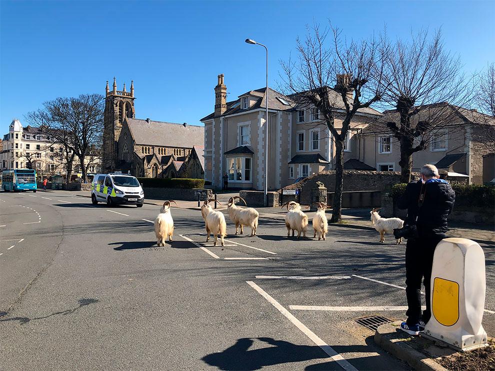 cabras en las calles de gales por cuarentena (10)