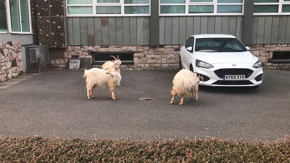 cabras en las calles de gales por cuarentena (2)