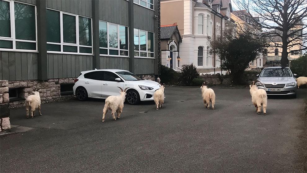 cabras en las calles de gales por cuarentena (3)