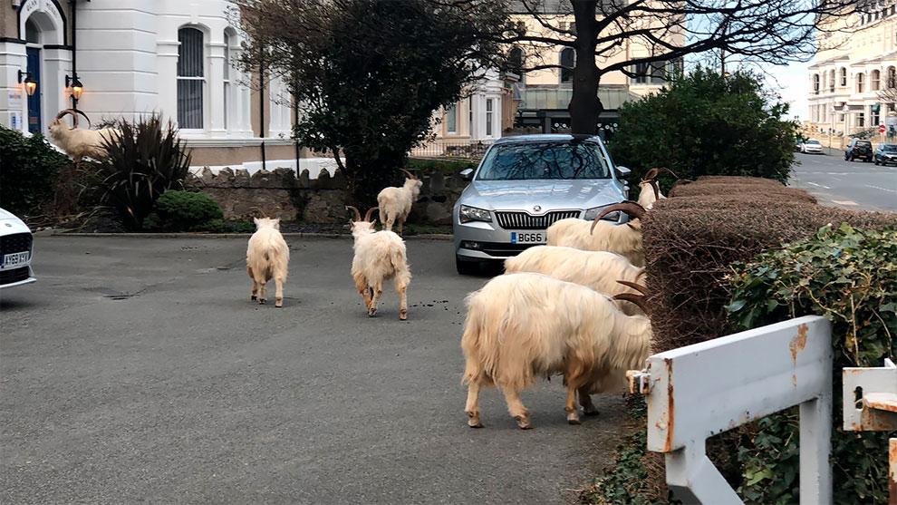 cabras en las calles de gales por cuarentena (4)