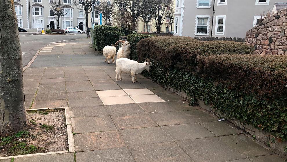 cabras en las calles de gales por cuarentena (5)