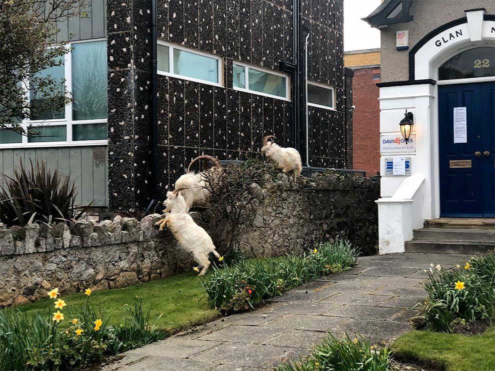 cabras en las calles de gales por cuarentena (6)