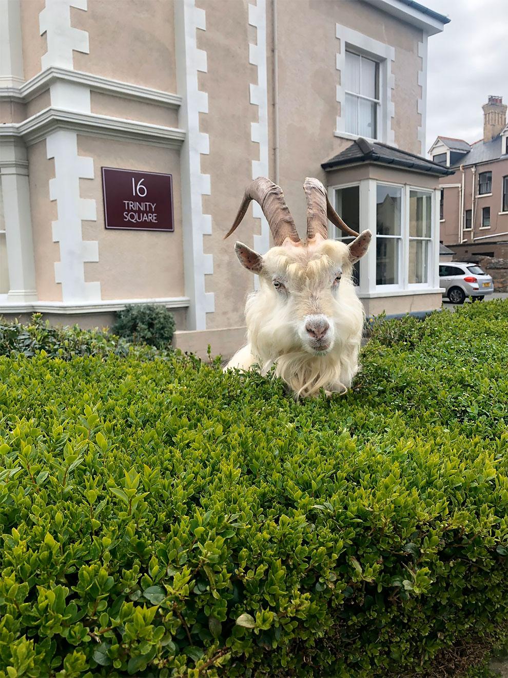 cabras en las calles de gales por cuarentena (8)