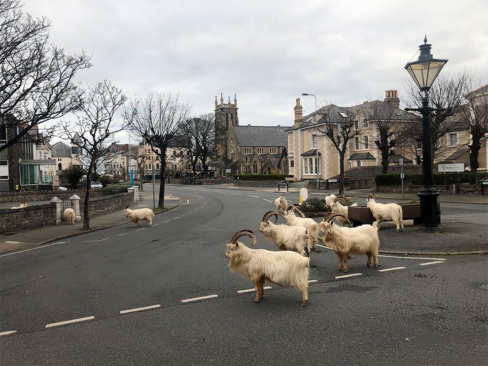 cabras en las calles de gales por cuarentena (9)
